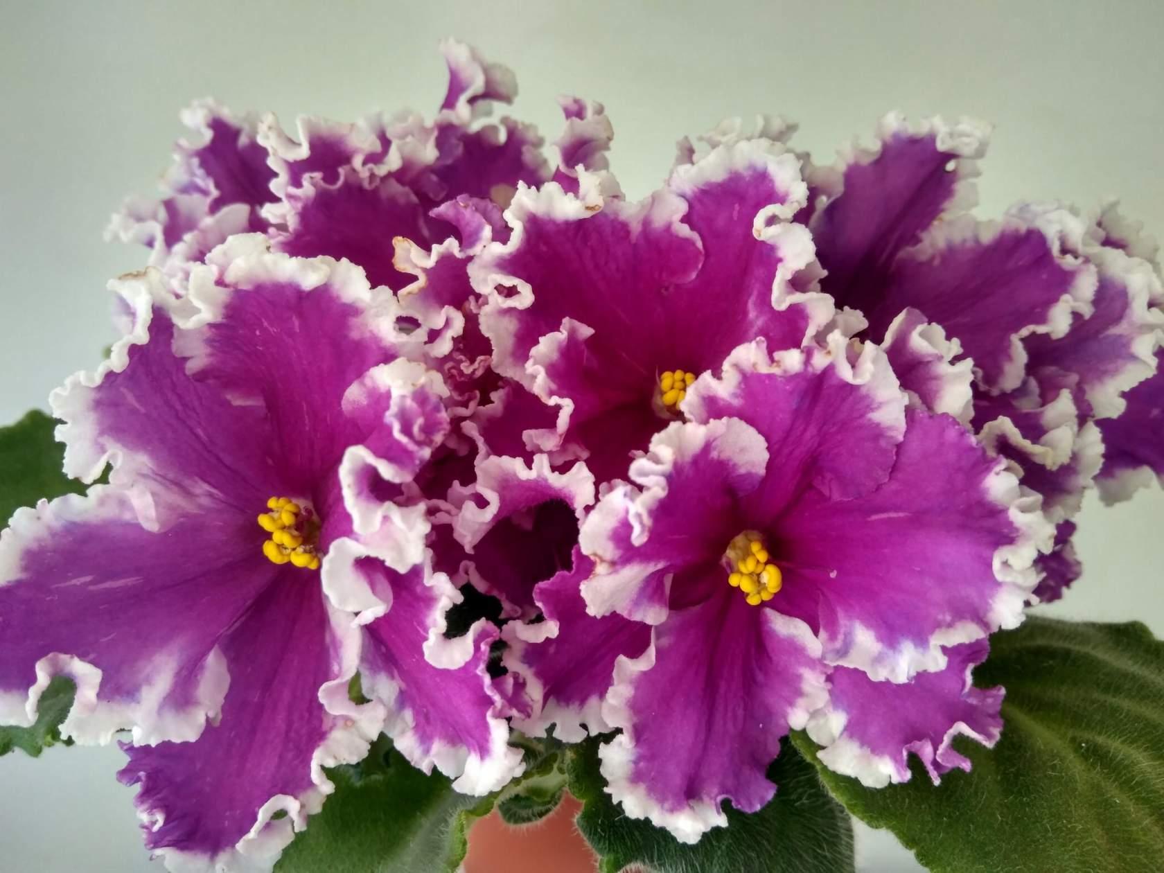 Купить цветы фиалки недорого почтой заказ цветов в махачкале с доставкой