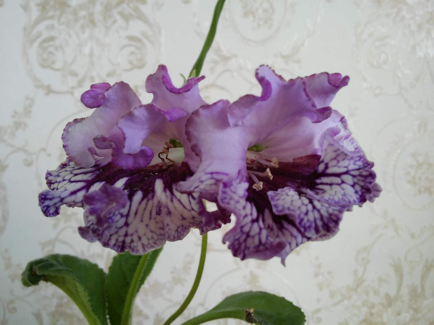 Купить цветы стрептокарпусы почтой недорого цветы