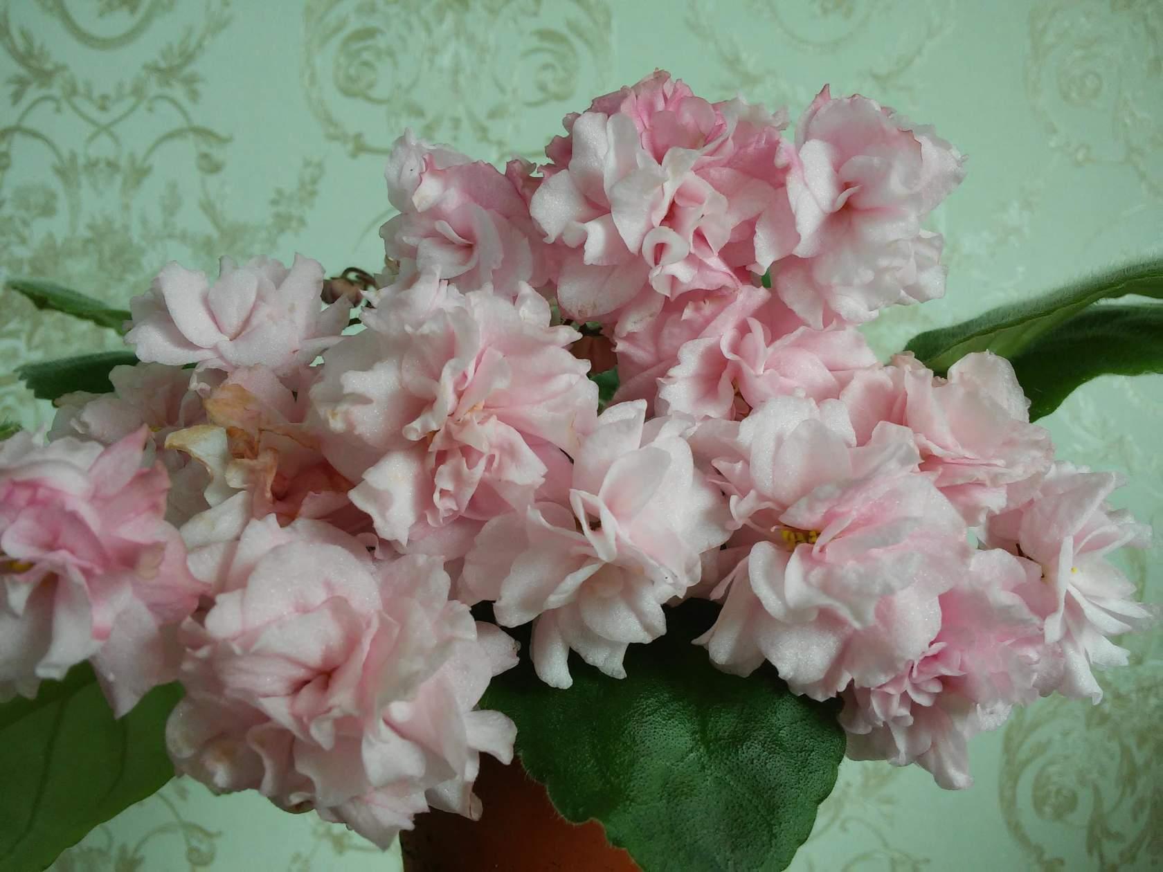 Цветы сирени купить в аптеках гомеля доставка цветов в городе пушкин спб