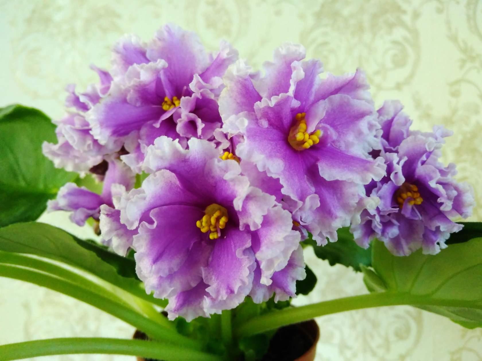 фото цветка гладиолуса и его луковиц