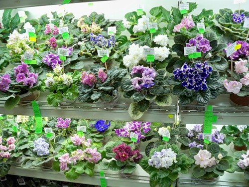 Интернет магазин фиалки цветы, роз хризантем фото